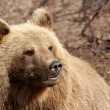 Brown bear, — Stock Photo