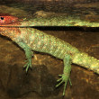 Colorful Caiman Lizard — Stock Photo #15651555