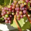 Organic red grapes — Foto de stock #15655953