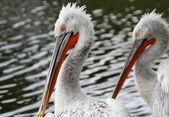 Dalmatian Pelicans — Stock Photo