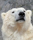 Polar bear portrait — Stock Photo
