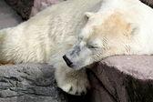 眠っているホッキョクグマ — ストック写真