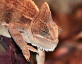Brown Chameleon — Stock Photo