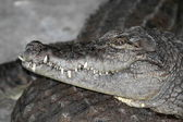 Portrait of a nile crocodile — Stock Photo