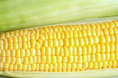 Fresh raw corn cobs — Foto de Stock
