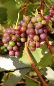 Organic red grapes — Foto Stock