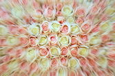 Pink and white roses close up — Stock Photo