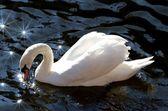 белый лебедь — Стоковое фото