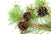 Pine branch and cones — 图库照片