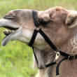Portrait of Camel — Stock Photo