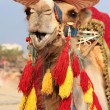 Fancy touristic camel — Stock Photo