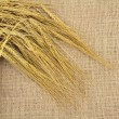 Stock Photo: Wheat spike