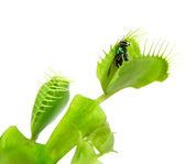 Carnivorous plant. Flytrap — Stock Photo