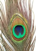 Peacock feather — Stock Photo