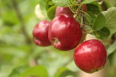 Organic red apples on branch — Stock Photo