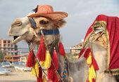 Fancy touristic camel — Stock Photo