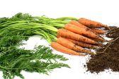 New harvest fresh organic carrots . — Stock Photo