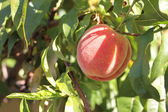 Fresh colorful peaches . — Zdjęcie stockowe