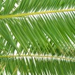 Fresh green palm tree leaf — Stock Photo