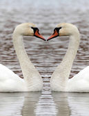 Swan heart — Stock Photo