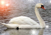 White swan on a lake — Stock Photo
