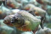 Kırmızı karınlı piranha — Stok fotoğraf
