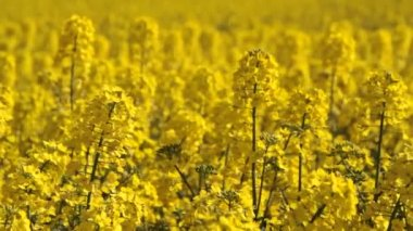 Canola fields or Rapeseed plant — Stockvideo