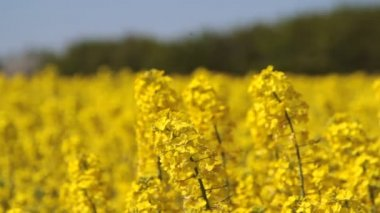 Canola fields or rapeseed plant — Stock Video