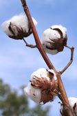 Pamuk bitki — Stok fotoğraf