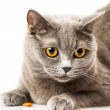 Stock Photo: Briton cat on white background