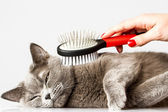 Woman combing British cat on white background — Stockfoto