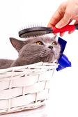 Woman combing British cat on white background — Stock Photo