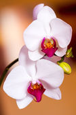 Two white orchid flower — Stock Photo
