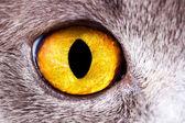 Closeup eye British cat — Stock Photo