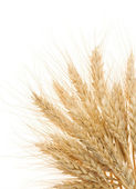 Ripe ears of barley isolated on white — Stock Photo