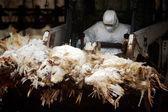Birds Flu Outbreak — Stock Photo