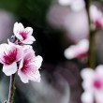 Pink plum tree flowers blossom — Stock Photo #12671626