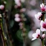Pink plum tree flowers blossom — Stock Photo #12671631