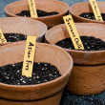 Chili Pepper Seedling — Stock Photo