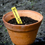 Chili Pepper Seedling — Stock Photo #12869313