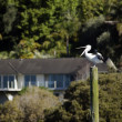 The first pelican spotted in NZ for more than 20 years — Stock Photo