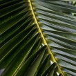 Branch of a palm tree — Stock Photo