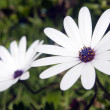 Stock Photo: White daisy flowers