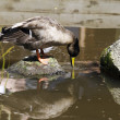 Duck drinking water — 图库照片
