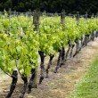Stock Photo: Vineyard in New Zealand