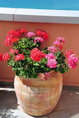 Geranium flowers in a pot — Stock Photo