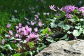 Cyclamen Flowers — Stock Photo