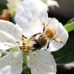 Honey bee collecting nectar — Stock Photo