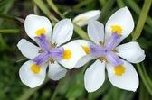 Fortnight Lily, Dietes iridioides — Stock Photo