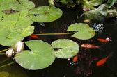 Golden fish pond — Stock Photo